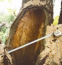 Chirurgische Maßnahmen, Zwieselsicherung, Abtötung von Pilzen oder oder Stärkung mit Mykorrhizapräparaten