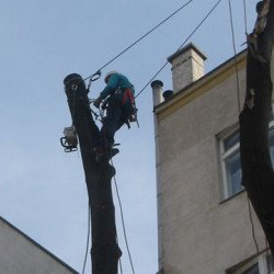 Nach Rodung von Stadtbäumen müssen Ersatzpflanzungen oder Ausgleichszahlungen gleistet werden