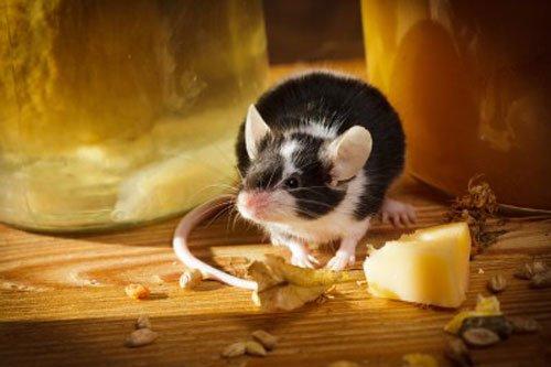 Rattennachschau